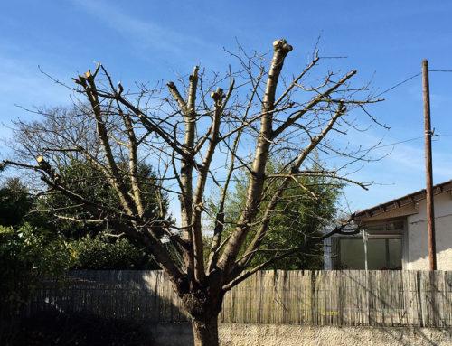 Élagage 91 d'un cerisier
