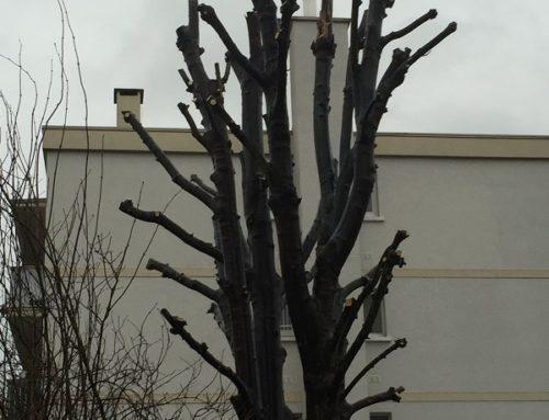 Élagage arbre à Saint-Maur-Des-Fossés (94)