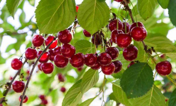 elagage-arbres-fruitiers-94-aidlib-espaces-verts
